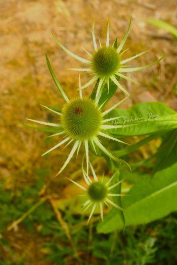 La Petite Ceinture Chardons Fleurs Nature Nature_collection Macro Macro_collection Macro_flower Macro Nature Macrophotography