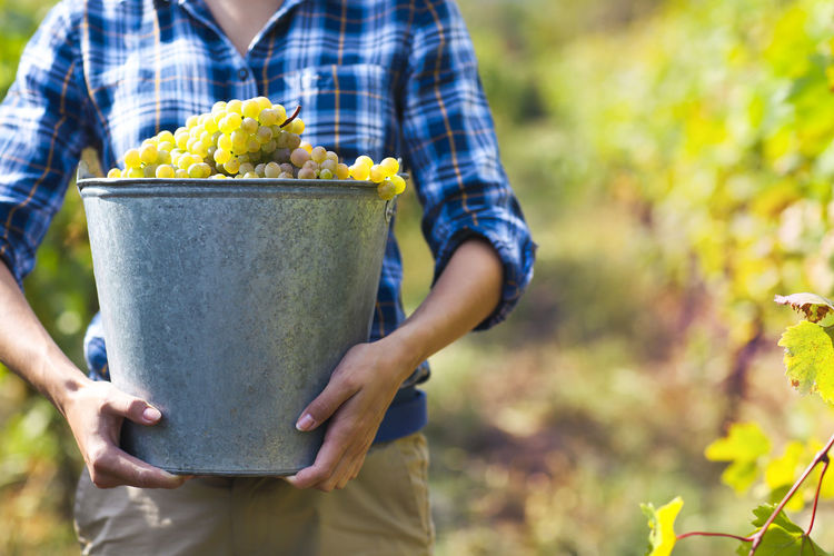 Midsection of woman carrying grapes in bucket