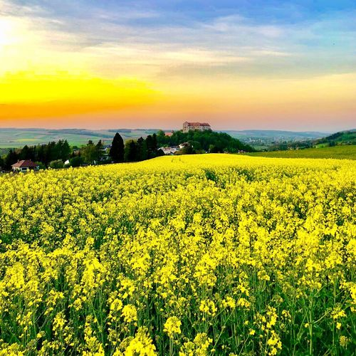 """""""Close each day with a smile and paint the sky with your dreams."""" Dodinsky 🙌 Loweraustria Wienerwald  Rapsfeld Viewpoint View Castle Beauty In Nature Plant Yellow Flower Scenics - Nature Growth Field Sky Flowering Plant Tranquil Scene Land Landscape Tranquility Rural Scene Agriculture Nature Sunset Visual Creativity"""
