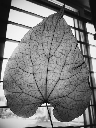 Veins And Arteries Blackandwhite An Old Leaf Directly Behind Experimenting With Light So Revealing Amazing Showcase March Urban Spring Fever