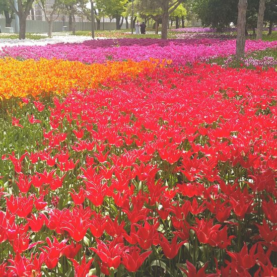 Flower Red Outdoors Freshness Day Flowerbed Grass Perspectives On Nature