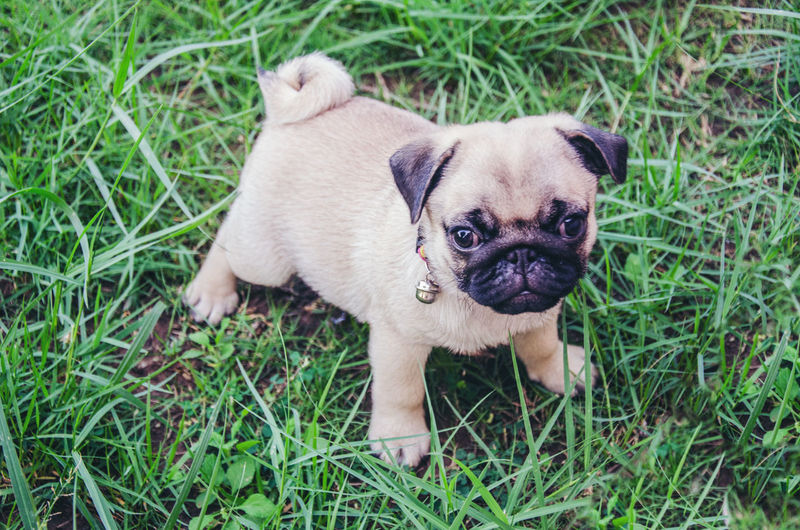 Pee dog Fun Smart Boy Lovely Playful No People Portrait Nature Small Young Animal Vertebrate Puppy Lap Dog Pug Plant Animal Themes Grass Domestic Animals Animal Domestic Mammal Pets One Animal Dog Canine