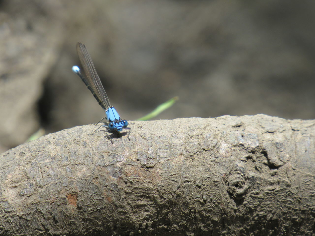 insect, one animal, focus on foreground, damselfly, rock - object, animal themes, animal wildlife, close-up, no people, animals in the wild, outdoors, day, nature