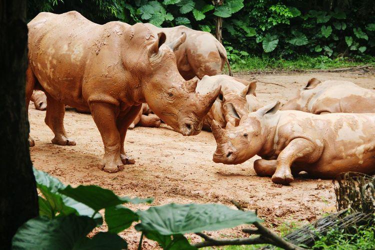Rhinoceroses at zoo