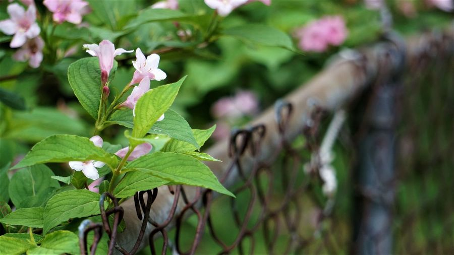 Copy Space Plant Leaf Plant Part Growth Beauty In Nature Flower Flowering Plant Nature Close-up Green Color Day No People Selective Focus Fragility Focus On Foreground Vulnerability  Outdoors Freshness Petal Pink Color Flower Head Plant Life Blooming Botany Blossom In Bloom