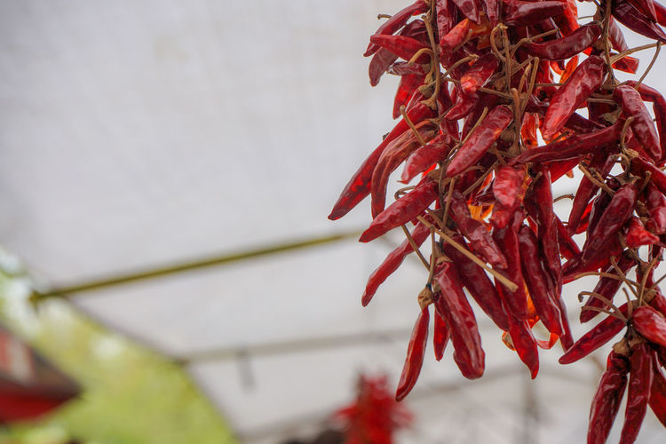 Close-up of red chili peppers hanging