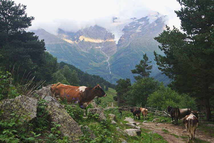 Cows in a valley