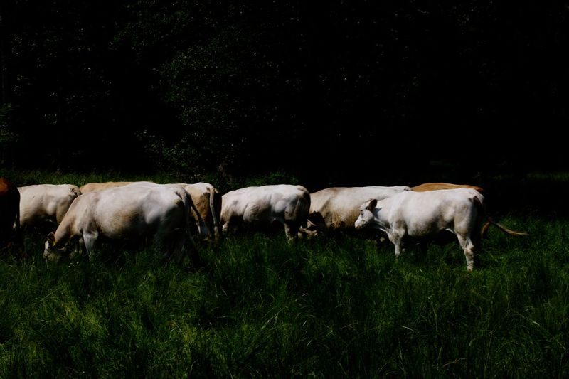 Cattle grazing on grassy field