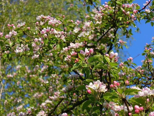 Blütenzauber Apfelbaum  Beauty In My Garden Bloomingtree SONYrx100m3 Rx100m3 Godsgarden Apfelblüte Goodmorning :)
