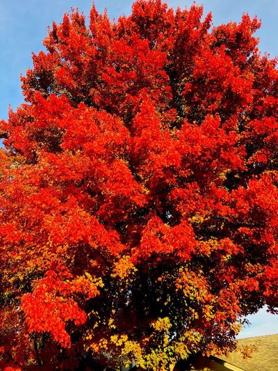 Fall MapleTree