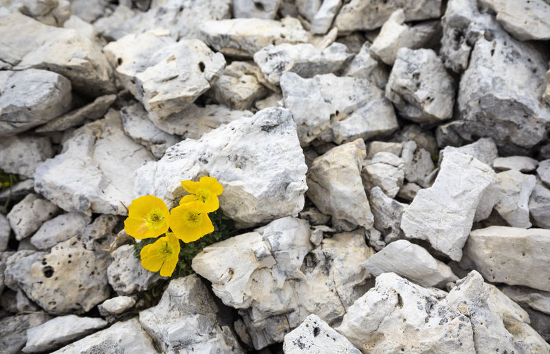 High angle view of yellow flowering plant on rocks