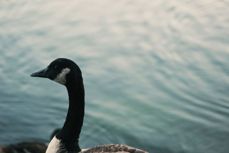 Side view of canada goose against lake