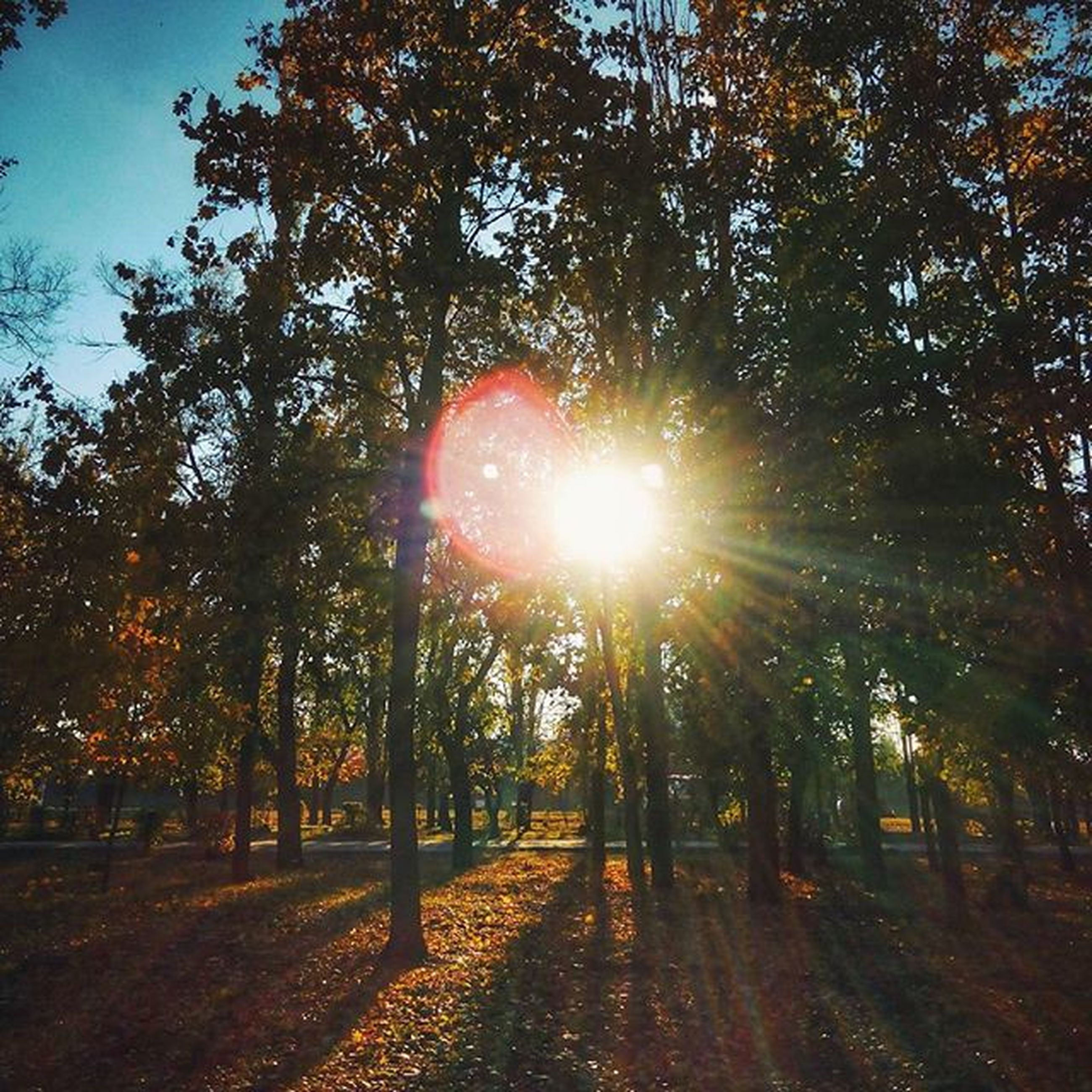 tree, sun, sunbeam, sunlight, lens flare, tranquility, tranquil scene, nature, growth, beauty in nature, scenics, sunny, forest, back lit, the way forward, sky, tree trunk, bright, landscape, branch