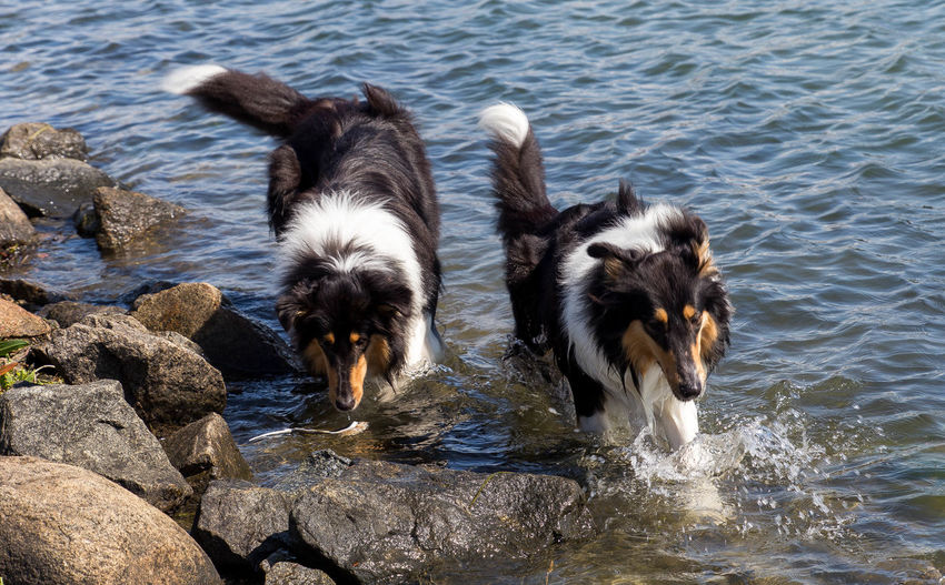 Molly and Kendza are sisters, They are so sweet to each other, and I LOVE them so much. Here we was walking by the sea, just outside Gothenburg. Collie Collies Dog Doglover Dogs Free Spirit Havingfun Lassie Love Love Is Not Just A Verb, It's You Looking In The Mirror Love Lovely Sun Animal Themes Summer ☀ Animal_collection Swimming Time Summer Dogs Happy Time Collie #roughcollie #photooftheday #cute #dogsofinstagram #bordercollie #igers #poser #saturday #happiness #dogstagram #bluemerle #dog #welshcollie #lovedogs #bordercollies #ig #igdaily #potd #picoftheday #happy #love Befree ❤️ Sisters ❤ Playtime Summer2015 Pets