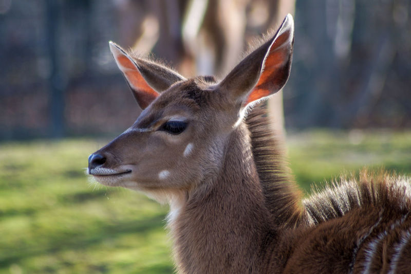 Bambi deer One Animal Mammal Animal Wildlife Animals In The Wild No People Focus On Foreground Brown Close-up Day Side View Domestic Animals Grass Animal Body Part Vertebrate Nature Portrait Outdoors Herbivorous Profile View Deer