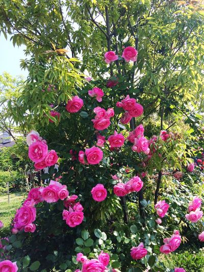 MyFavorite  Pink Rose Beauty In Nature Spring Voice Nature Rose🌹 Flower Collection