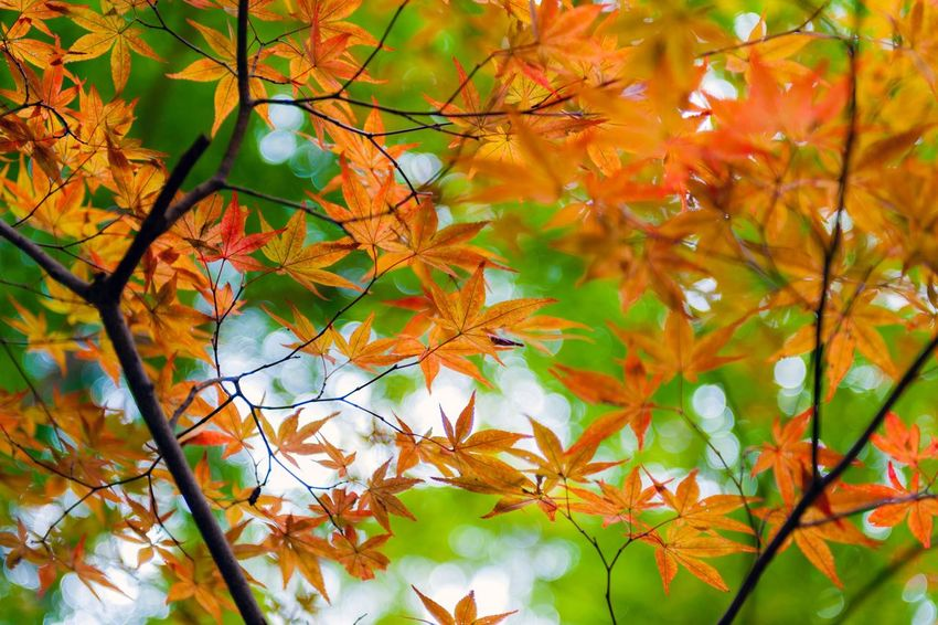 Golden Japanese maple leaves during autumn Autumn Leaf Change Maple Tree Orange Color Nature Tree Maple Leaf Beauty In Nature Day Branch Growth Outdoors Backgrounds Full Frame No People Maple Close-up Maple Tree