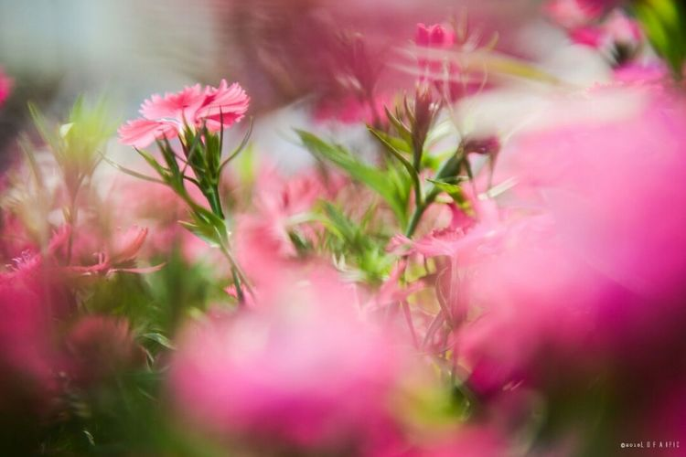 Flower Growth Nature Freshness Plant Pink Color No People Close-up Fragility Beauty In Nature Outdoors Day Flower Head EyeEmNewHere