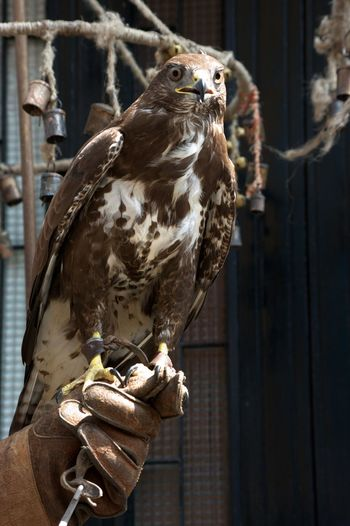 Falcon Falconry Historical Parade Palio Palio Di Legnano