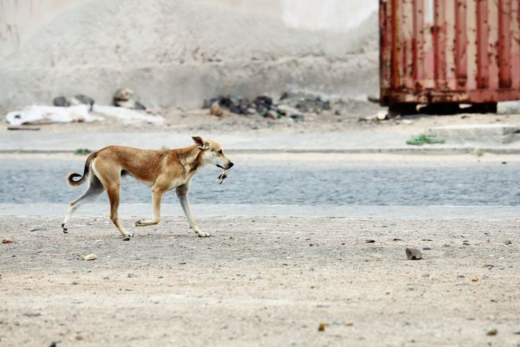 Found lunch. Animal Themes One Animal Dog Mammal Domestic Animals Outdoors Pets Animals In The Wild Day No People Stray Animal Nature Copy Space Capo Verde Wild Stray Dog EyeEm Best Shots Real Life Travel Street Streetphotography Reality EyeEm Gallery Popular Photos