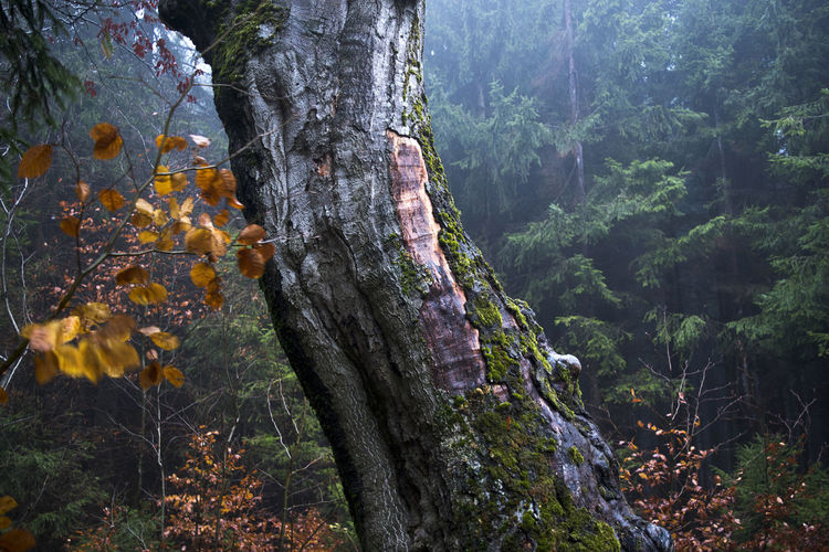 Tree Plant Forest Tree Trunk Trunk Nature Growth Tranquility Beauty In Nature No People Day Scenics - Nature Outdoors Tranquil Scene Non-urban Scene WoodLand Environment Focus On Foreground Bark Autumn colors Autumn Autumn Mood