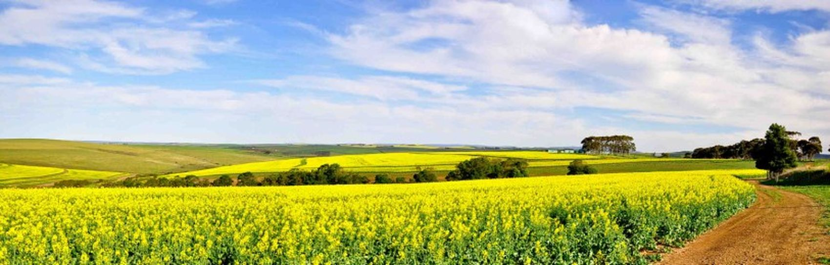 Canola fields, Western Cape. Photography Scenicview Nature Landscape