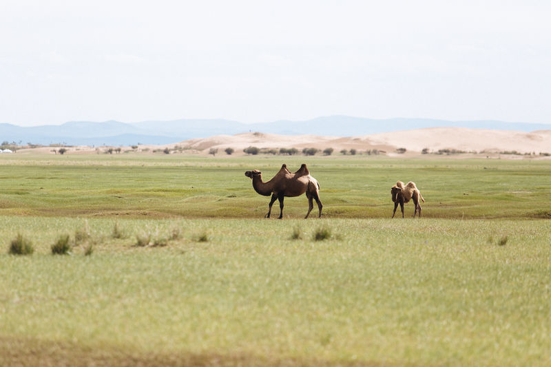 My last trip in Mongolia! Connected By Travel Mongolia Animal Themes Animals In The Wild Beauty In Nature Camel Day Field Grass Landscape Mammal Mountain Nature No People Outdoors Sky