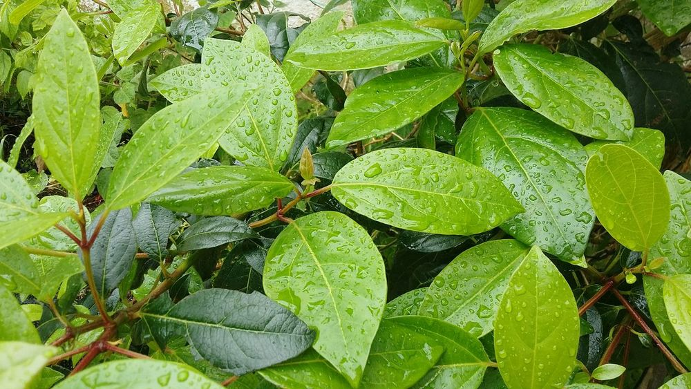 Plant Part Leaf Green Color Growth Plant Nature Full Frame Backgrounds No People Day Beauty In Nature High Angle View Close-up Drop Water Outdoors Leaves Wet Land RainDrop Laurel Leaves