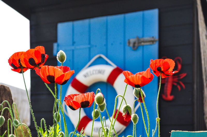 Lovely poppies Beauty In Nature Cardiff Day Flower Flower Head Fragility Garden Garden Flowers Garden Shed Growth Life Saving Equipment Lifering Love_flowers Multi Colored Nature No People Outdoors Plant Poppy Red Red Popies RHS Shed Sunny Day
