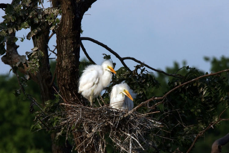 great egret chicks Great Egret Great Egret Chicks Animal Animal Themes Bird Tree Vertebrate Animal Wildlife Animals In The Wild Branch Plant One Animal No People Perching Nature Animal Nest Day Sky White Color Low Angle View Focus On Foreground Young Animal Outdoors Animal Family Beak