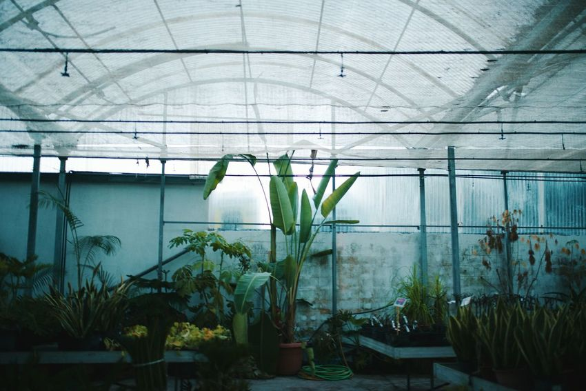 Miles Away Plant Growth Indoors  Greenhouse Growing Nature No People Green Color Leaf Beauty In Nature Plant Nursery Agriculture Day Cactus Botanical Garden Architecture Photography Outdoors EyeEm Best Shots Nature Green Color Palm Tree Lieblingsteil Tranquility EyeEmNewHere EyeEmNewHere EyeEm Selects
