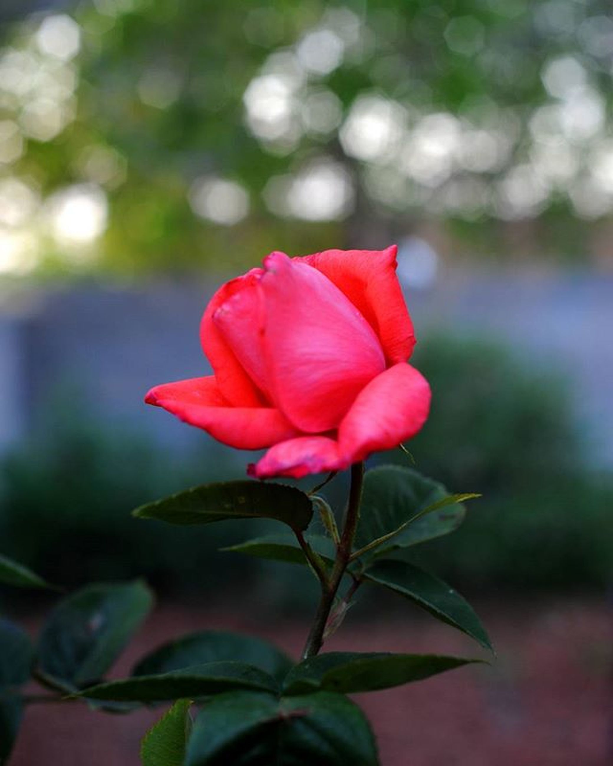 flower, petal, freshness, flower head, fragility, growth, focus on foreground, beauty in nature, close-up, leaf, plant, blooming, nature, red, rose - flower, pink color, bud, in bloom, stem, blossom, selective focus, day, outdoors, botany, no people, green color, softness