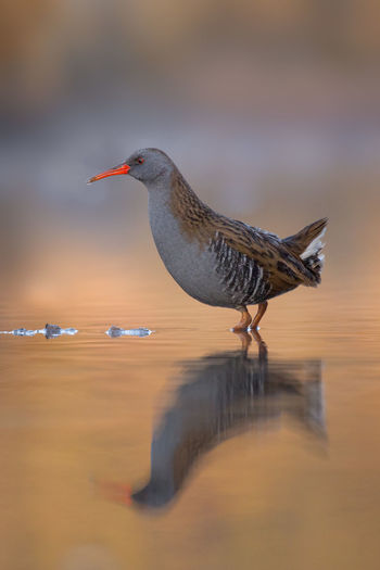 Waterrail at sunrise foraging Rallus Aquaticus Rascón Europeo Râle D'eau Wasserralle Animal Themes Animal Wildlife Animals In The Wild Bird Day Foraging Golden Light Nature No People One Animal Outdoors