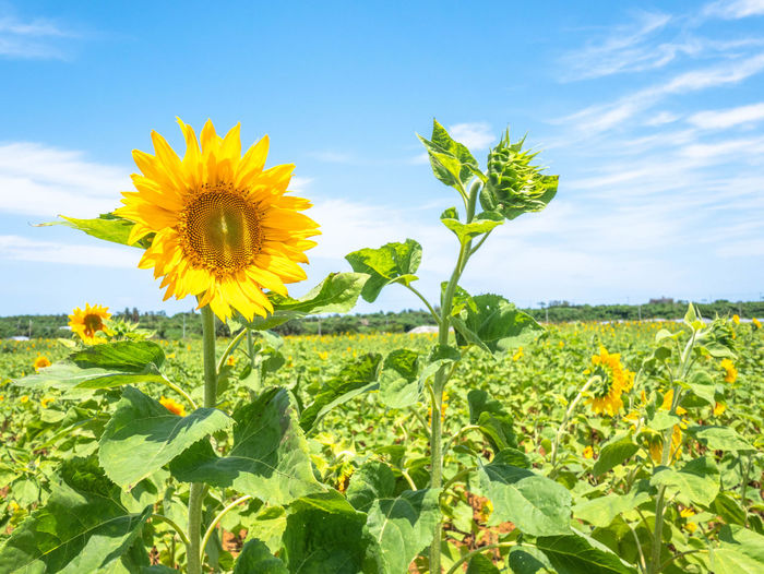 Yellow flowering plant on field against sky