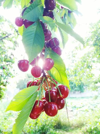 Tree Fruit Nature Food Healthy Eating No People Day Plant Green Color Red Beauty In Nature 😍beauty 🍒cherries 😚