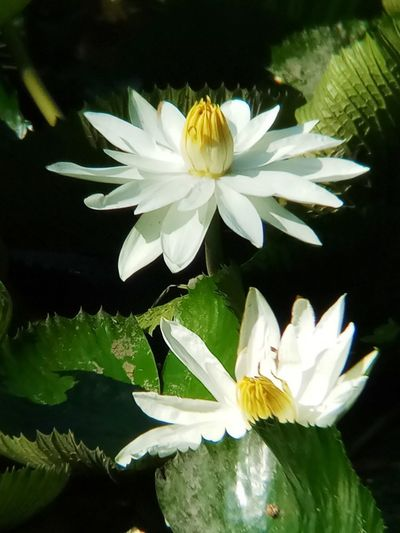 Beauty In Nature Close-up Day Flower Flower Head Flowering Plant Freshness Leaf No People Plant Plant Part White Color