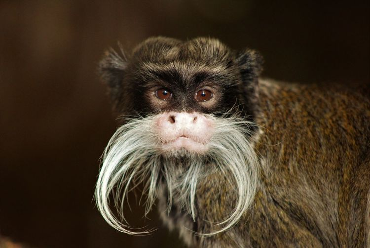 Animal Themes Close-up Day Emperor Tamarin Monkey Mammal Monkey No People One Animal Portrait