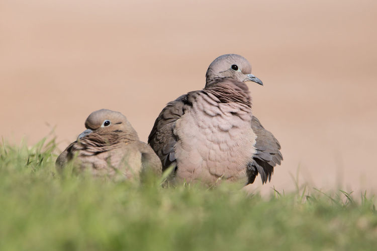 Pigeons perching on a field