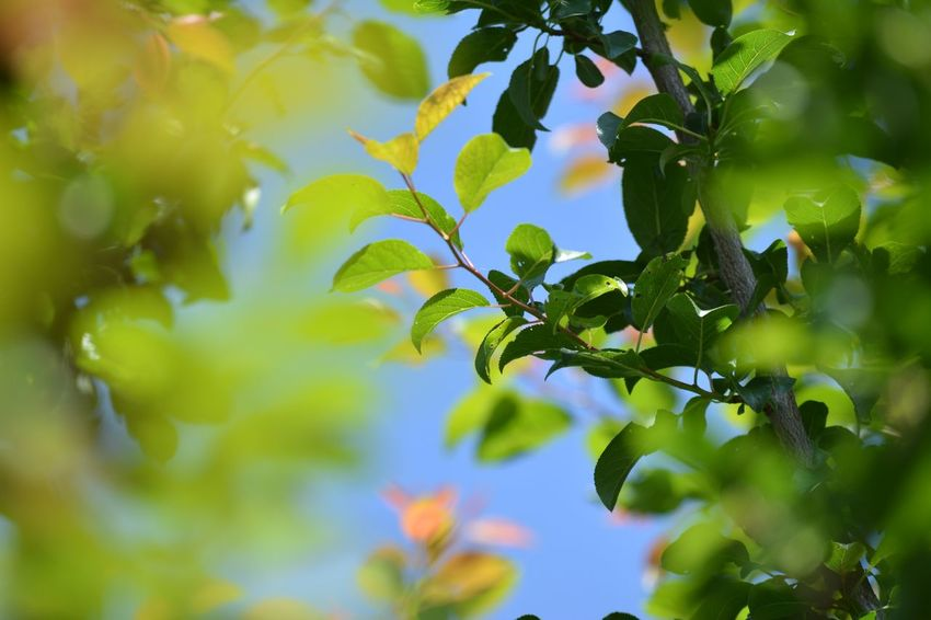 Green leaves Background Color Ecology Ecolog Foliage Fresh Green Growth Leaf Light Natural Plant Blue Sky Beauty In Nature Selective Focus Through Sunlight Through Leaves Verdure