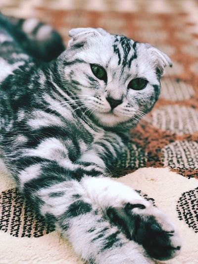 Little Tiger Domestic Cat One Animal Animal Themes Mammal Domestic Animals Feline Pets Looking At Camera Portrait Cat Whisker No People Indoors  Close-up Day
