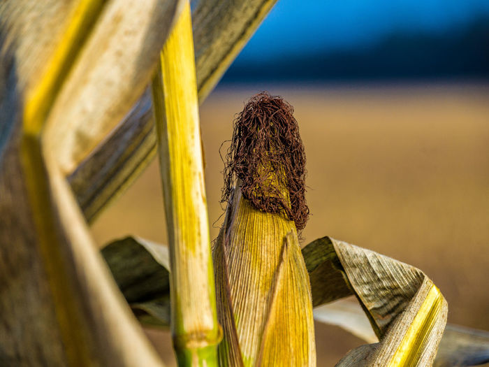 Close-up of corn growing outdoors