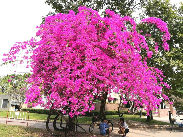 Plant Growth Young Youth Day Love Chilling Green Tree Flower Fuangfah Pink Color Pink Pink Flower Thai Thai Tree Bicycle Park - Man Made Space
