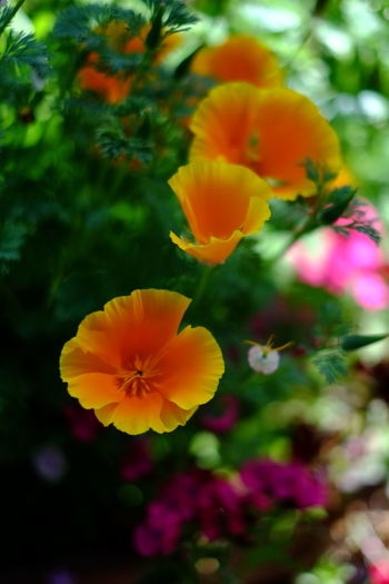 Just Flowers Flower Flower Head Petal Plant Beauty In Nature Blossom Outdoors Fragility Multi Colored Poppy No People Holywood County Down Northern Ireland