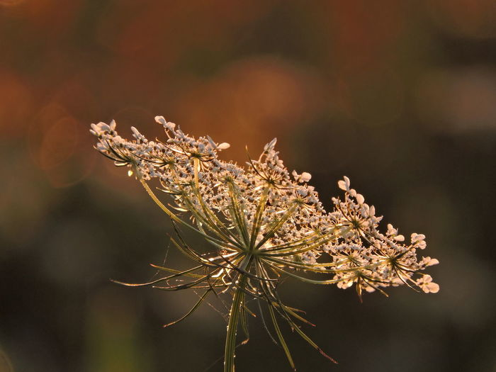 Queen Anne's Lace Beauty In Nature Close-up Day Dry Flower Flower Head Flowering Plant Focus On Foreground Fragility Freshness Golden Hour Photography Growth Nature No People Outdoors Plant Selective Focus Sunlight Tranquility Twig Vulnerability  Wilted Plant Winter
