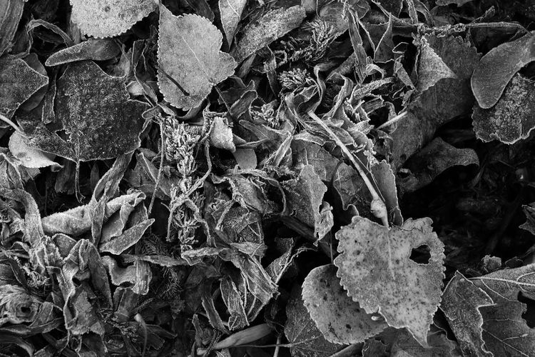#leaves #autumn Autumn Leaves Black And White EyeEm Best Shots - Macro / Up Close Leaf, Leaves, Black And White, Bw, Frost, Close Up, Autumn, Leaves Textures And Surfaces Winter Frost