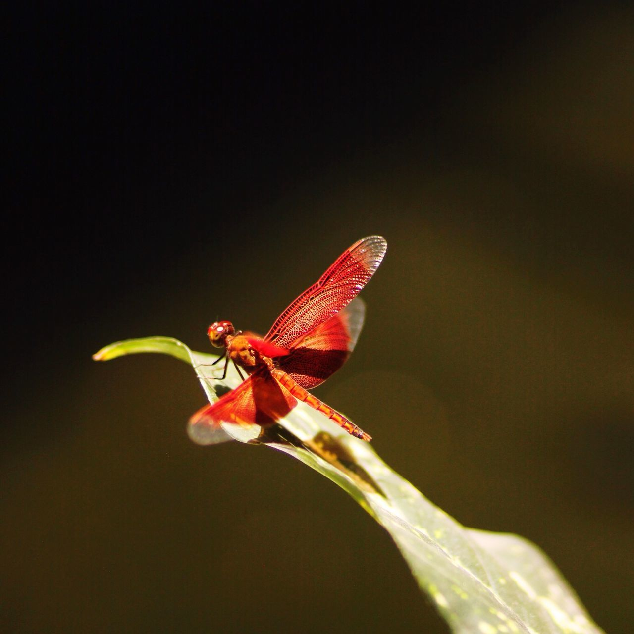 Close-Up Of Dragonfly On Plant Leaf