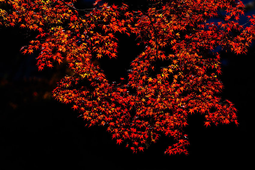 Shining Red Beauty In Nature Nature Tree Autumn Branch Leaf Tranquil Scene Red Maple Maple Leaves autumn mood Japan Kyoto Tarvel Destination Isolated Background Black Background Black Abstract Artistic Nature Shiny Light And Shadow