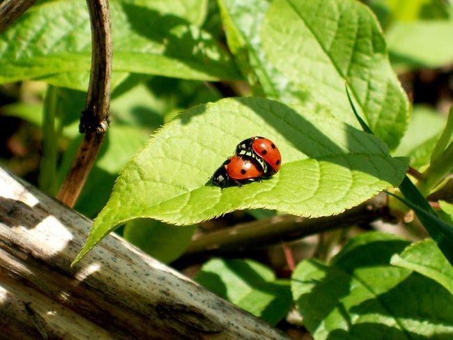 Beauty In Nature In My Place Love Wildlife Macro Beatiful Nature Poland Nature Nature's Diversities Ladybird Ladybirds