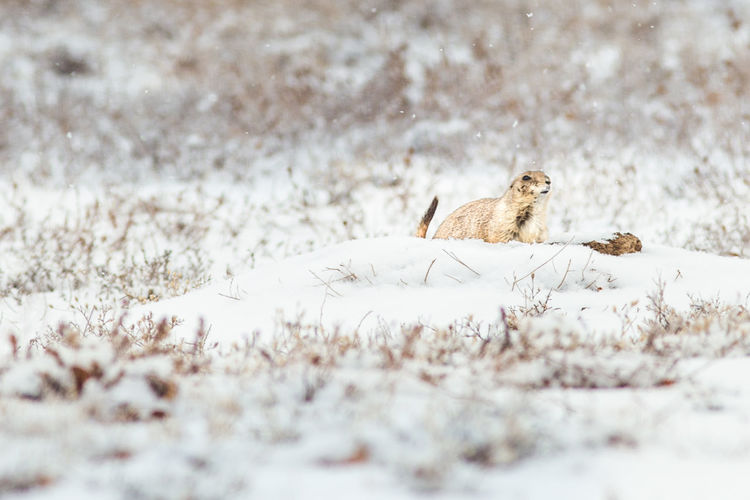 FUZZ Fuzzy Prairie Dog Animal Themes Animal Wildlife Animals In The Wild Cold Temperature Day Field Mammal Nature No People One Animal Outdoors Prarie Selective Focus Snow Winter