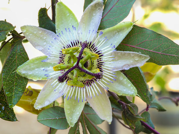 Beauty In Nature Close-up Day Flower Flower Head Fragility Freshness Nature No People Passion Flower Petal